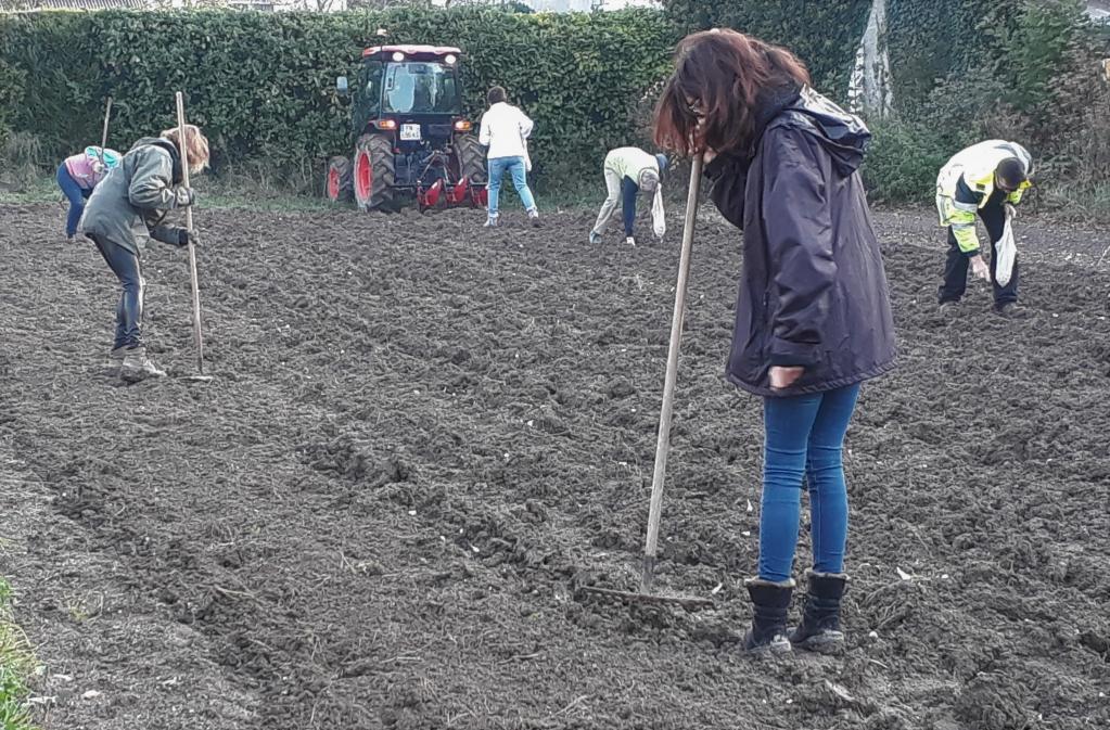 Plantation ail bio d'hiver Hénin-Beaumont Arras - 62